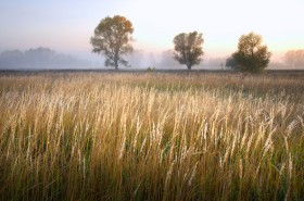misty-reeds